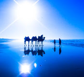 3 camels. Three camels. Atlantic ocean beach Stock Image