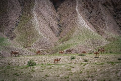 Camels in Tibet Stock Photo