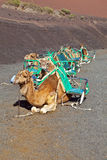 Camels at Timanfaya national park Stock Photos
