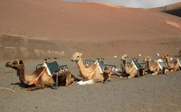Camels in Timanfaya National Park, Lanzarote Royalty Free Stock Image