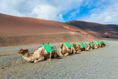 Camels in Timanfaya National Park Lanzarote Royalty Free Stock Photo