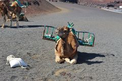 Camels in Timanfaya National Park, Lanzarote, Canary Islands, Spain. Stock Images