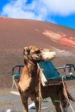 Camels in Timanfaya National Park on Lanzarote. Stock Images