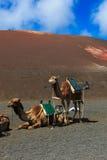 Camels in Timanfaya National Park on Lanzarote. Royalty Free Stock Image
