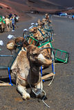 Camels in Timanfaya National Park on Lanzarote. Stock Photo