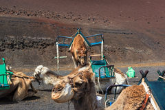 Camels in Timanfaya National Park on Lanzarote. Royalty Free Stock Images