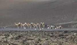 Camels at Timanfaya National Park Stock Image