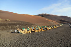 Camels at Timanfaya national park Royalty Free Stock Image