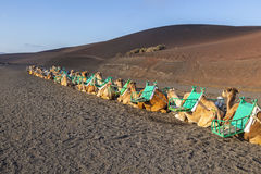 Camels at Timanfaya national park Stock Images