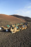 Camels at Timanfaya national park Royalty Free Stock Photography