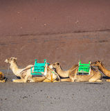 Camels at Timanfaya national park Royalty Free Stock Photos