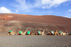 Camels at Timanfaya national park Royalty Free Stock Images