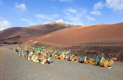 Camels at Timanfaya national park Stock Image