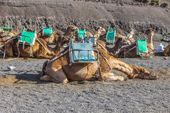 Camels at Timanfaya national park wait for tourists Royalty Free Stock Photos