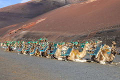 Camels at Timanfaya national park wait for tourists Stock Images