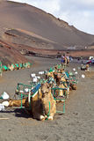 Camels at Timanfaya National Park wait for tourists Stock Photography