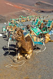 Camels at Timanfaya national park waiting for tourists Royalty Free Stock Images