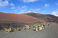 Camels at Timanfaya national park waiting for tourists Royalty Free Stock Photography