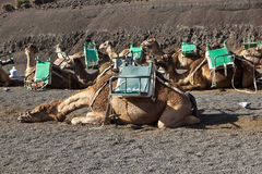 Camels at Timanfaya national park waiting for tourists Royalty Free Stock Photo