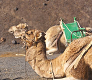 Camels at Timanfaya national park waiting for tourists Royalty Free Stock Image