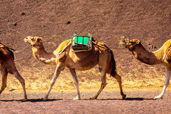 Camels in Timanfaya park on Lanzarote island Stock Images