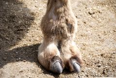 Camels Toe Royalty Free Stock Images