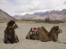 Camels for tourist Stock Photo