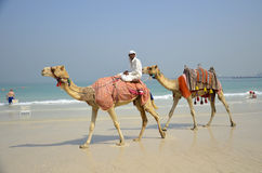 Camels, tourists, beach, Dubai Marina. Stock Photography