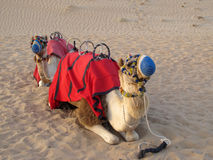 Camels. For tourists in desert, Dubai, UAE Stock Photography