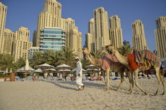Camels, tourists, hotel Hilton Dubai Jumeirah Resort, Dubai Mari Royalty Free Stock Photos