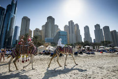 Camels, tourists, hotel Hilton Dubai Jumeirah Resort, Dubai Marina Royalty Free Stock Photography