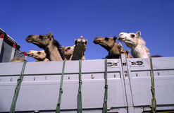 Camels in a truck Stock Images