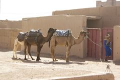 Camels and tuareg in the desert stock photo