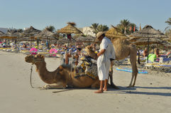 Camels in Tunisia on the beach Royalty Free Stock Photos