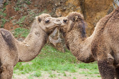 Camels. Two adult camels in meadow Royalty Free Stock Photos