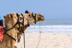 Camels Royalty Free Stock Photography