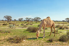 Camels in the UAE Stock Image