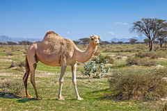 Camels in the UAE Royalty Free Stock Image