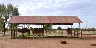 Camels Under Cover in Yard. Royalty Free Stock Photography
