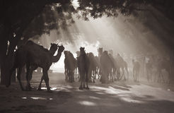 Camels under sunrays Royalty Free Stock Image