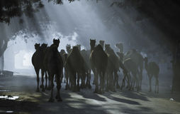 Camels under sunrays Stock Image