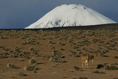 Camels and Volcan, highland of Chile Stock Photos