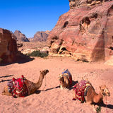 Camels in Wadi Rum Stock Image