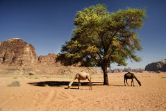 Camels in Wadi Rum Royalty Free Stock Photos