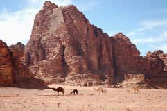 Camels in Wadi Rum desert, Jordan. Royalty Free Stock Photography