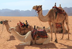 Camels and Wadi Rum desert Stock Images