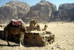 Camels, Wadi Rum, Jordan Stock Images