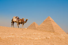 Camels Waiting Pyramids Cheops Khafre Khufu Stock Images