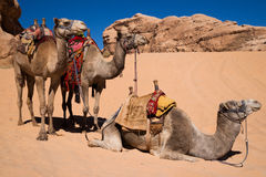 Camels waiting for a ride Stock Images