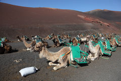 Camels waiting for tourists, Lanzarote Stock Photography